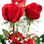 Three Red Roses and Gypsophila
