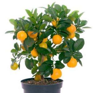 OrangeTree_Citronella_1024x1024